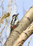 male syrian woodpecker on a tree trunk. - stock photo