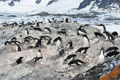 colony of adelie penguins. - stock photo