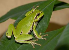 tree frog on a green leaf. - stock photo