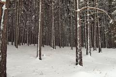 Snowy spruce forest - stock photo