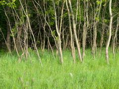 Young aspen grove in the spring - stock photo