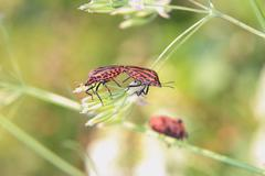Graphosoma lineatum - stock photo