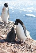 Stock Photo of adelie penguins in the family nest.