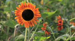 Dancing Red Sunflower on Windy Stock Footage