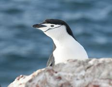 portrait of antarctic penguin looking out over the cliff. - stock photo