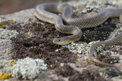 yellow-bellied racer on the rocks. - stock photo