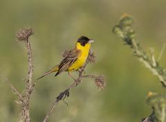 Black-headed bunting male sitting on a branch. Stock Photos