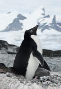 Female adelie penguin with chicks. Stock Photos