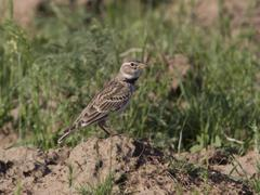 male steppe lark sitting on the mound. - stock photo