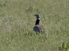 Little bustard male in spring steppe.. Stock Photos
