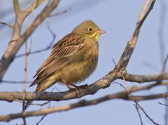 ortolan bunting male sitting on a branch. - stock photo