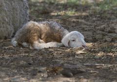 Vastasyntyneen vauvan lampaita. Kuvituskuvat