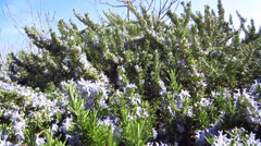 Pollination on rosemary Stock Footage