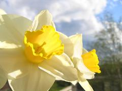Spring flower - narcissus Stock Photos