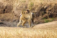 Baboon in the savannah Stock Photos