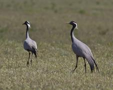 female and male steppe cranes troubling the nest. - stock photo