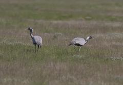 a pair of  steppe cranes anxious near the nest. - stock photo