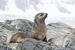 fur seal sitting on a rock island antarctic. - stock photo