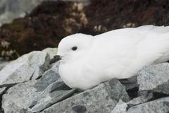 snow petrel resting on the antarctic islands. - stock photo