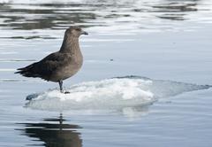 south polar skua sitting on an ice floe floating. - stock photo