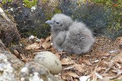 newly hatched chick and egg south polar skua. - stock photo