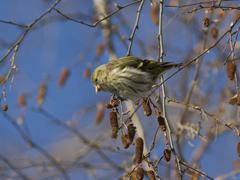 Stock Photo of female eurasian siskin fed seeds on a branch of birch in winter.