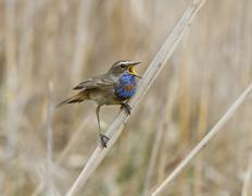 the male red starry bluethroat singing on a branch cane. - stock photo