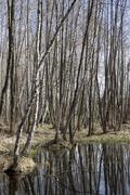 spring waterlogged deciduous forest in spring. - stock photo