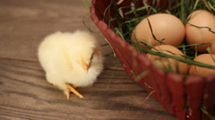 Yellow chick near a basket with eggs Stock Footage