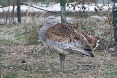 bustard standing in a zoo enclosure in winter. - stock photo