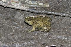 Fire-bellied toad sitting around drying puddles in the forest. Stock Photos