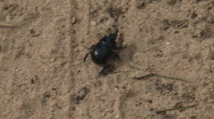 Dung beetle moving across sand to grass Stock Footage