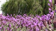 Blooming Lavender (Lavandula stoechas). Stock Footage