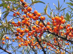 ripe sea-buckthorn berries - stock photo