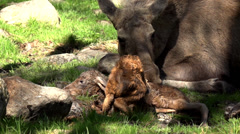 Moose in sweden - absolutely rare - newborn moose calf! Stock Footage