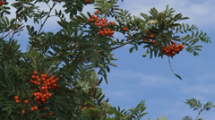 Fruit and leaves of Sorbus aucuparia + zoom out tree Stock Footage