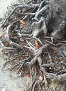 Tree roots Stock Photos