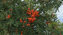 Fruit and leaves of Rowan, Sorbus aucuparia - close up. - stock footage