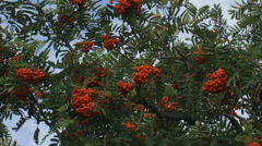 Fruit and leaves of Rowan, Sorbus aucuparia + low angle Stock Footage