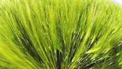 Wide lens shot of a green grain field Stock Footage
