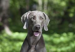 Portrait of shorthaired weimaraner dog Stock Photos