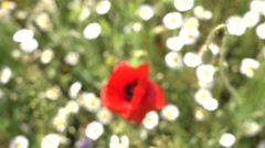 Stock Video Footage of Red poppy plant in bloom