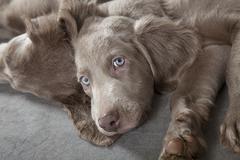 weimaraner puppies - stock photo
