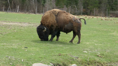 4K American Bison Grazing Stock Footage