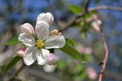 Apple-tree flower Stock Photos