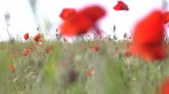 Red poppy plant in bloom Stock Footage