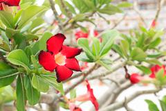 adenium red flowers - stock photo