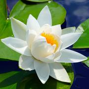 Stock Photo of white lily