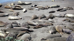 Elephant Seals 01 HD Stock Footage
