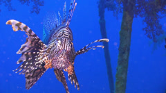 African lionfish on Shipwreck Stock Footage